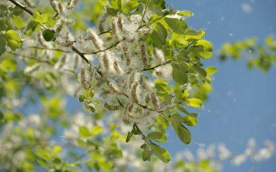 Nasiona topoli – czy unoszący się w powietrzu biały puch jest szkodliwy dla zdrowia?